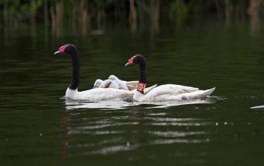 Cisnes con collares